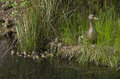Mother duck and baby ducks duckling Royalty Free Stock Photo