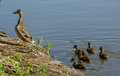 Mother duck being ignored by babies a seems to expect her to follow her onto the shore but they are too busy playing in the water Royalty Free Stock Photos