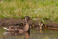 Mother duck guarding ducklings while they forage Royalty Free Stock Photo