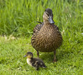 Mother duck watches over one her young Stock Image