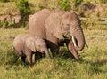 Mother elephant feeding alongside baby