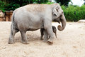 Mother elephant with her newborn baby elephant Royalty Free Stock Photo