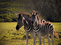 Mother foal zebra s a and in south africa Stock Photos