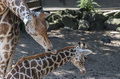 Mother giraffe care for the young one taken of baby Royalty Free Stock Images