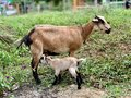 stock image of  The mother goat takes good care of the child.