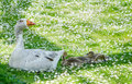 Mother goose and babies a white keeps a watchful eye over her in a field of daises Stock Image