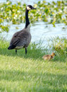 Mother goose and baby a stands guard over her new little chick Royalty Free Stock Photo