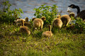 Mother goose goslings canadian coaxing her eight to get into the water on pell lake located in walworth county in wisconsin Stock Images