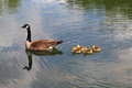 Mother Goose and Goslings with Water Reflection Royalty Free Stock Photos