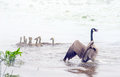 Mother goose sends a warning warns everyone to back away from her little family of goslings as they glide into the fog on pod in Royalty Free Stock Images