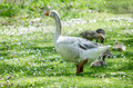 Mother goose stands security a white is first line of against her baby goslings Royalty Free Stock Photography