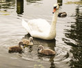 Mother goose watching her baby chicks on the water photo of a while they learn to eat Royalty Free Stock Photography