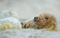 Mother grey seal and baby Stock Images