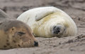Mother grey seal and baby Royalty Free Stock Image