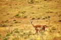 Mother guanaco feeding its baby Royalty Free Stock Photo