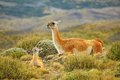 Mother guanaco with its baby Royalty Free Stock Photo