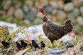 Mother Hen with Chicks Stock Photography