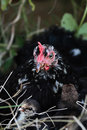 Mother hen and chicks cochin two little extreme shallow depth of field Royalty Free Stock Photos