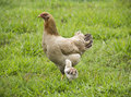 Mother hen with its chick chicks feeding in grass Royalty Free Stock Images