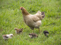 Mother hen with its chicks feeding in grass Stock Photography