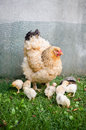 Mother hen and little chicks eco style farming Royalty Free Stock Images