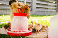 Mother hen and little chicks eco style farming Royalty Free Stock Photography