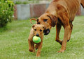 Mother and her puppy playing an african adult female rhodesian ridgeback hound dog is together with young the is holding a ball in Royalty Free Stock Photos