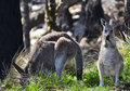 Mother and inquisitive baby kangaroo tenterfield new south wales australia near the ˌkæŋɡəˈruː is a marsupial from Royalty Free Stock Image