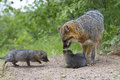 Mother and kits female grey fox by den Stock Image