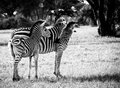 Mother love and calf zebra shot at hwange national park zimbabwe Royalty Free Stock Photo