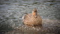 Mother mallard duck taking a swim female bathes in the pond whilst being sprinkled with water Stock Images