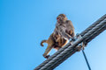 Mother monkey with a little baby monkey going on the fence of the bridge in Rishikesh, India. Royalty Free Stock Photo