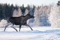 Mother Moose Trotting in snow Royalty Free Stock Photo