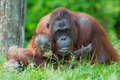 Mother orangutan with her baby Stock Photos