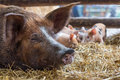A mother pig is resting in the straw while her newborn piglets a Royalty Free Stock Photo