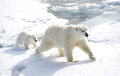 Mother polar bear and cub Royalty Free Stock Photography