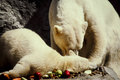 Mother polar bear and cub a her young enjoy lunch together image from color slide Royalty Free Stock Photography