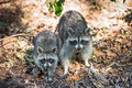 Mother raccoon with a baby in wooded area and looking at camera Stock Photos
