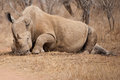Mother rhino Royalty Free Stock Photo