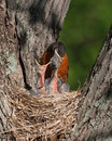 Mother Robin With Head in Mouth of Baby Royalty Free Stock Photo