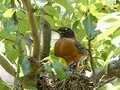 Mother Robin in Her Nest with Two Baby Robins Eager for Food Royalty Free Stock Photo