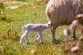 Mother sheep and baby lamb nursing in a field menorca Stock Photo