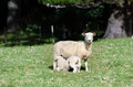 Mother sheep feeds her lamb Stock Images