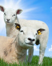 Mother sheep and her lamb in spring Royalty Free Stock Photography