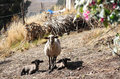 Mother sheep with her lambs and two babies at the pasture Stock Photography