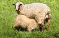 Mother sheep and lamb in spring Stock Photography