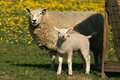 Mother sheep and little lamb looking at you Royalty Free Stock Photo