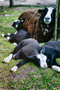 Mother sheep resting with her lambs on the ground Stock Photography