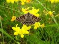 Mother shipton moth callistege mi feeding on a birds foot trefoil lotus corniculatus Stock Image