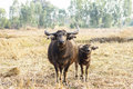 Mother and son in buffalo pasture. Stock Photography